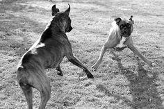 Boxer play