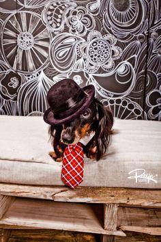 A very dapper dachshund!