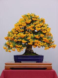 Pyracantha en Bonsai; communément appelé « Buisson Brdent ».