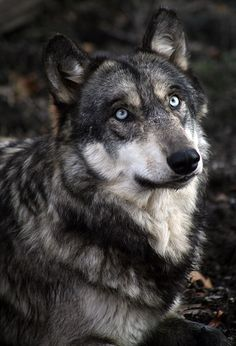 Wolf Park, Indiana.