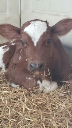 Farm Photography, Wildlife Photography, Baby Animals Super Cute, Cute Animals, In This World, Cow Pictures, Cow Face, Beef Cattle, Cute Cows