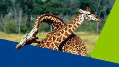Ako sadiť zeleninu na hriadky? Toto sú najlepšie kombinácie Giraffe, Animals, Felt Giraffe, Animales, Animaux, Giraffes, Animal, Animais
