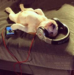 Bulldog love listening to 3 Dog Night