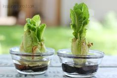 How to Regrow Lettuce ~ growing food from scraps - science project? I did one and it works! :)