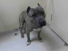 RTO SAFE - 03/11/15  --- Staten Island Center   LUCA - A1029678  MALE, BR BRINDLE / WHITE, PIT BULL MIX, 5 yrs STRAY - PRE RTO, HOLD FOR RTO Reason STRAY Intake condition EXAM REQ Intake Date 03/07/2015,  https://www.facebook.com/Urgentdeathrowdogs/photos/pb.152876678058553.-2207520000.1425891457./973460922666787/?type=3&theater