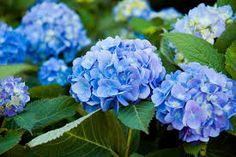 For flowers that thrive in alkaline soil (like begonias and hydrangeas), mix a teaspoon baking soda in with water and use it on those plants. The extra baking soda will help them grow and flower beautifully!