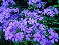 Louisiana Phlox - Phlox divaricata): purple to magenta pink flowers; blooms in early spring, hardy; drought tolerant; low growing up to 12 inches. Short bloom period, but hardy ground cover year-round; blooms Feb-April.