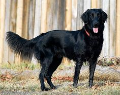 Flat coated retriever :)