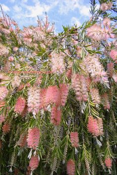 Callistemon Cane's Hybrid by Kelley Macdonald - In the south, we call this a Bottle Brush tree. Australian Native Garden, Australian Native Flowers, Australian Plants, Australian Garden Design, Unusual Flowers, Beautiful Flowers, Trees And Shrubs, Trees To Plant, Horticulture