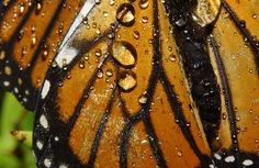 CLOSE-UP OF RAIN ON BUTTERFLY WINGS--This photo was taken of a Monarch butterfly near Timber Cove, Mendocino Coast, on Oct. 19, 2007. (Photo by Kathy Keatley Garvey) butterflies