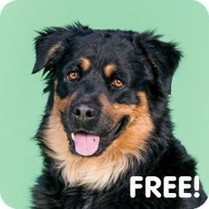 Walnut Creek, CA - Rottweiler/Bernese Mountain Dog Mix. Meet Aioli a Dog for Adoption.