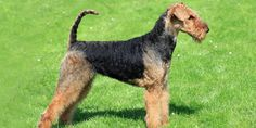 Right breed for you? Airedale Terrier breed information including dog temperament, #AiredaleTerrier grooming, photos of Airedale Terrier, maintenance cost, health, care, dog shedding, coat and much more.