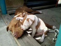 #Pitbull love