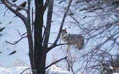 San Mateo AF903 in the winter of 2009, photo courtesy of the Mexican Wolf Interagency Field Team.