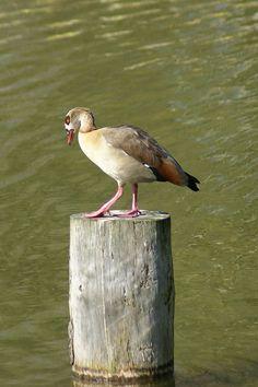 http://faaxaal.forumactif.com/t1962-photos-d-oiseaux-ouette-d-egypte-oie-d-egypte-alopochen-aegyptiacus-egyptian-goose