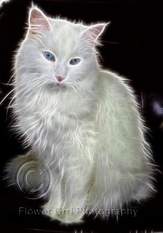 Snowy (A Norwegian Forest Cat I fostered, plus fractalius.)  Photo by Amy Scherff, cannot be used without permission.