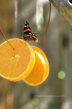 Attract butterflies to your garden by hanging sliced oranges as a yummy treat! The colorful wire can be found at your local Dollar Tree! ~ Pagan Parents Online on Facebook
