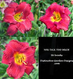 daylily introduction by  Distinctive Garden Designs .com
