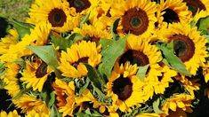 """Sunflowers 🌻 no Twitter: """"🌻i have a slight obsession with sunflowers🌻 like they are so freakin cute all happy and yellow!!!!💛🌻… """" ."""