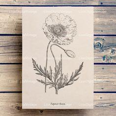 #LizasDigitalVintage Poppy wall art, Printable botanical print, Poppy print, Antique print, Poppy clip art, Botanical art print, Vintage print, A3 PNG JPG 300dpi.