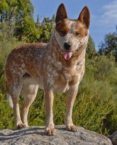 Interesting Facts about the Australian Cattle Dog (Blue Heeler)