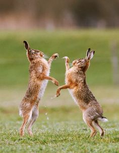 Give it to me rough, like a first draft. | boxing hares