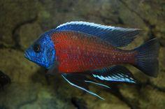 Copadichromis (Kadango) Red Fin Borleyi Cichlid not my pic - red fin borleyi
