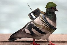 "Some of the smallest heroes of World War II are sometimes described as ""rats with wings."" At its peak, the Army Pigeon Service totals 150 officers, 3,000 enlisted men, and 54,000 pigeons. The winged messengers are credited with saving thousands of lives. Thirty-four pigeons receive the Dickin Medal, which honors the valor of dogs and pigeons in wartime."