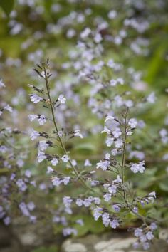 03_Nepeta_grandiflora_Dawn_to_Dusk_photo_Britt_Willoughby_Dyer