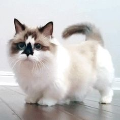 21 Munchkin Cats Who Will Make You Gasp With Pure Happiness