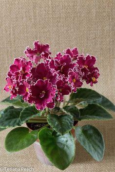 RS Tanets Ognya African Violet | eBay