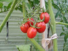 Tomates cherry.