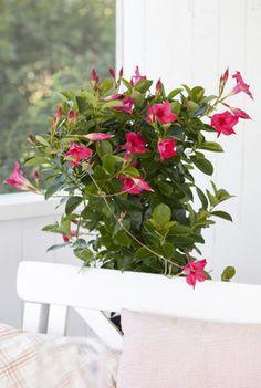 Mandevilla er en fantastisk frodig og riktblomstrende klatreplante. Den er yndig og vakker og den blir jo også kalt Ynde på norsk.