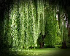 The Haunting Weeping Willow Tree - Fine Art Photography via Etsy