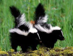 Crías de mofetas o zorrillos © Gordon and Cathy Illg