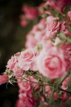 Festive pink roses