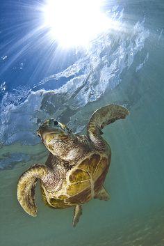 Las tortugas nadan y bailan alrededor del espiritu de las Islas