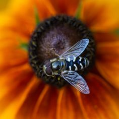 Hoverfly | Flickr - Photo Sharing!