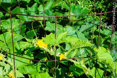 Concrete reinforcing wire: the cheapest and most versatile do-everything trellis for vegetables.