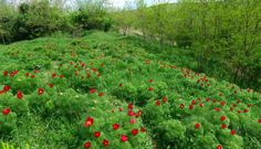 Bujor de stepă (Paeonia tenuifolia)-Rezervaţia de Bujori de Stepă-RO Paeonia Tenuifolia, Flora, Nature, Landscapes, Naturaleza, Plants, Nature Illustration, Off Grid, Natural