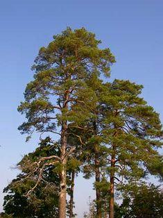 Mänty, Pinus sylvestris - Puut ja pensaat - LuontoPortti