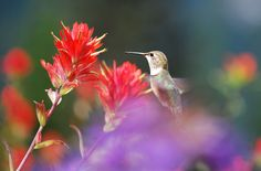 How To Make Your Garden a Hummingbird Haven! Grow plants that naturally attract hummingbirds. Flowers with long throats or large amounts of nectar are their favorites. Some of their favorites? Butterfly Bush Penstemon Fuchsia Bee Balm Honeysuckle Hollyhocks