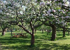 Blossom in Rosendals Trädgård, Djurgården. #PinStockholm