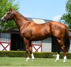Photo Gallery - California Chrome - The official website for California Chrome, the highest-earning racehorse of all time in North America Kentucky Horse Park, Kentucky Derby, Thoroughbred Horse, Dressage, Warmblood Horses, Preakness Stakes, Racehorse, Horse World, Horse Breeds