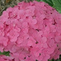 I love hydrangea flowers...
