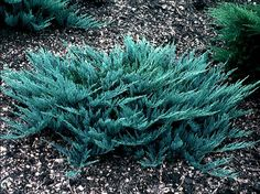 Blue Chip Juniper, 1 x 7. Nice evergreen groundcover displaying silver-blue foliage on a widely spreading habit. The foliage retains its rich color all year long.