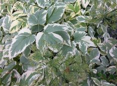 Plant Leaves, Food And Drink, Bunion Shoes, Drinks, Health, Plants, Drinking, Beverages, Health Care