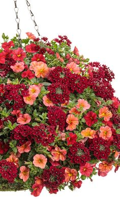 Glam Bam This hanging basket recipe really packs the heat! This long-blooming combination features Superbells calibrachoa and Superbena verbena in hues ranging from coral to deep red. Hot colors + heat-tolerance = summer in a pot. Container Flowers, Flower Planters, Container Plants, Container Gardening, Flower Pots, Succulent Containers, Fall Planters, Succulents, Outdoor Flowers