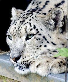 Extraordinario leopardo de las nieves ....