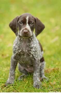 German shorthaired pointer puppy, Bailey :)